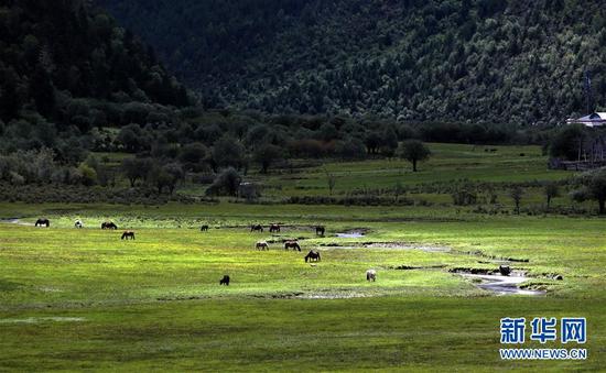 在云南迪庆藏族自治州普达措国家公园内,牲畜在洛茸村民小组附近的草甸上吃草(9月16日摄)。新华社记者 张誉东 摄