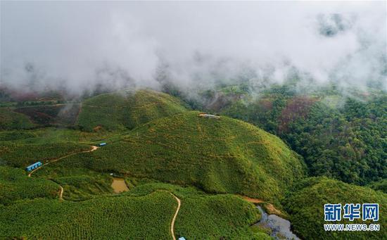 6月13日无人机拍摄的云雾缭绕的布朗山布朗族乡的一处茶山。 新华社记者 秦晴 摄