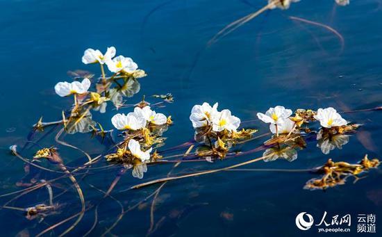 曲靖海峰湿地海菜花。摄影:赵云祥