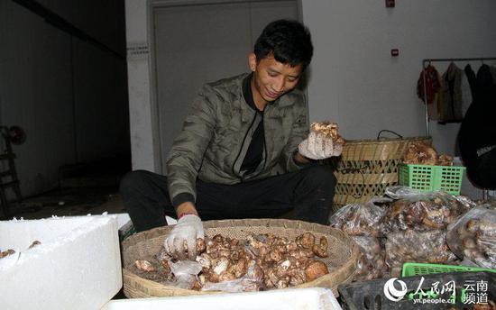 8月2日晚,香格里拉松茸交易市场,商家正在对收购回来的松茸进行等级分拣。(人民网 虎遵会 摄)