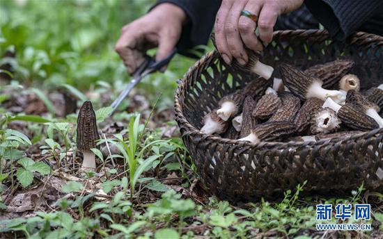 独龙江乡迪政当村村民在收获羊肚菌(4月18日摄)。