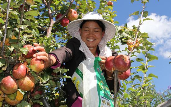 漾濞李家庄,一村民正在采摘苹果。(虎遵会 摄)