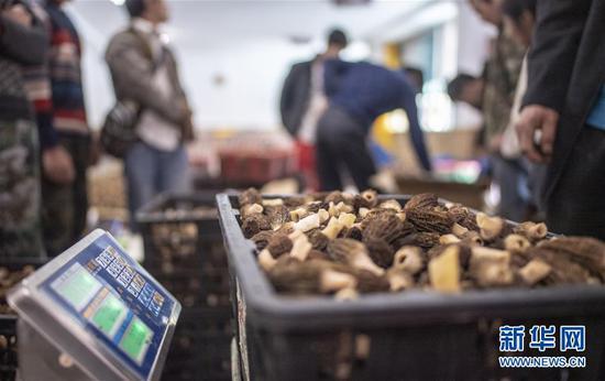 4月19日,独龙江乡群众将收获的新鲜羊肚菌送至收购点。