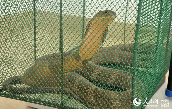 被民警擒获的眼镜王蛇。(李红顺 摄)