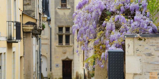 法国昂热紫藤花开