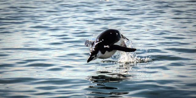 在南极拍动物