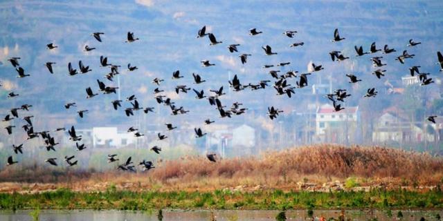 全球1/3豆雁飞来千渭湿地越冬