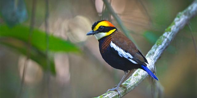 泰国原始森林里的蓝尾八色鸫