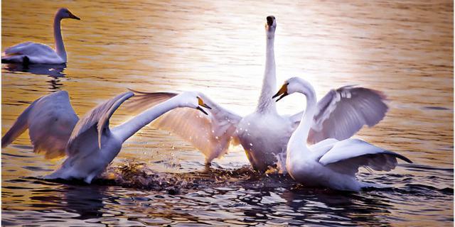 白天鹅的幸福生活