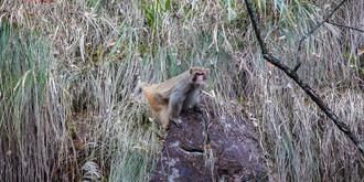偶遇野生猕猴
