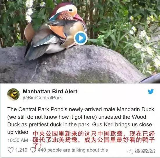"""冲鸭!纽约公园出现一只五彩斑斓""""中国鸭"""""""