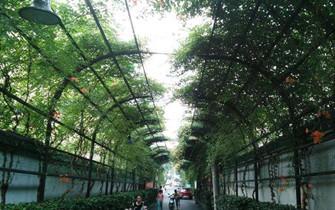 杭州现200米凌霄花长廊 似爱情隧道