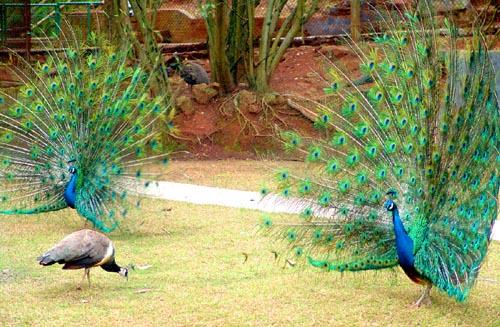杭州动物园的鸟儿进入恋爱季 傲娇孔雀天天开屏(图)