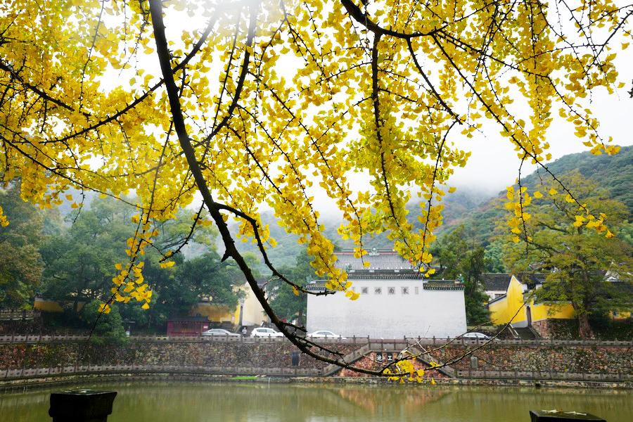 宁波天童寺赏一番银杏深幽