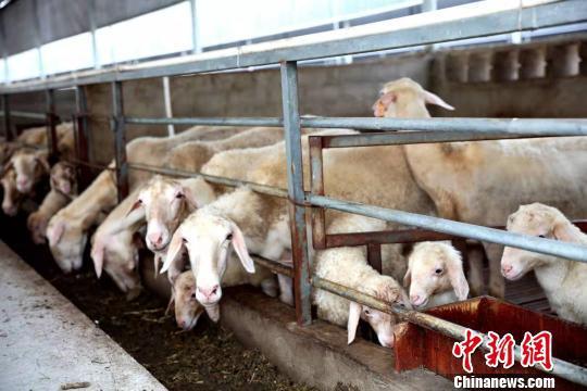 吕山湖羊 许旭 摄