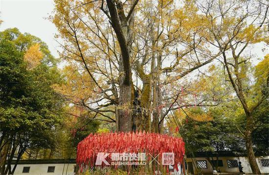 1400多岁的它黄了 这里藏着杭州最绚烂的秋天(组图)