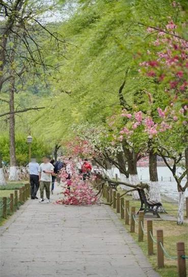 """下午,西湖边一棵树折断了。快拍小友""""若雨王芳""""摄"""