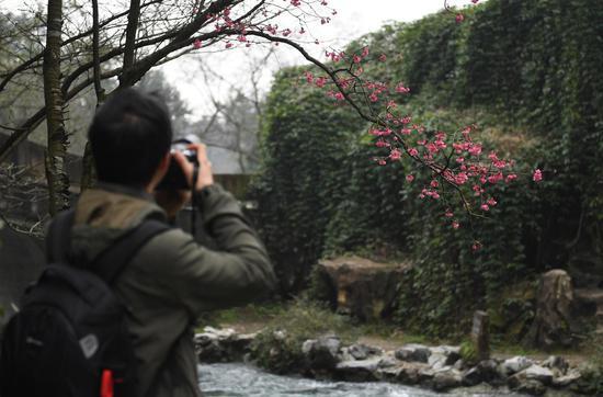 图为:一位摄影爱好者在拍摄樱花。