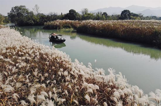 图为:小船从大片的芦花中划过。柯伟 摄