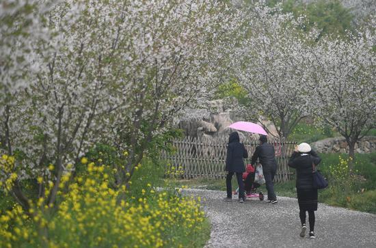 图为:游客在樱花林下散步。王刚 摄