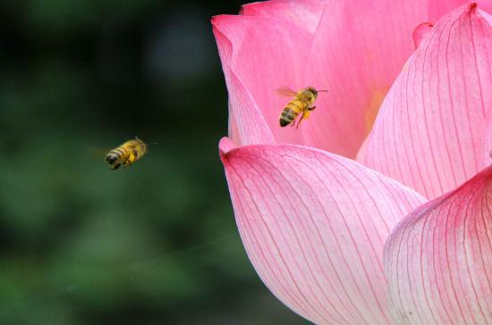 图为:蜜蜂正在荷花花瓣中飞舞。柱子(通讯员)供图