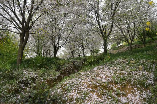 图为:樱花树下落樱如雪。王刚 摄