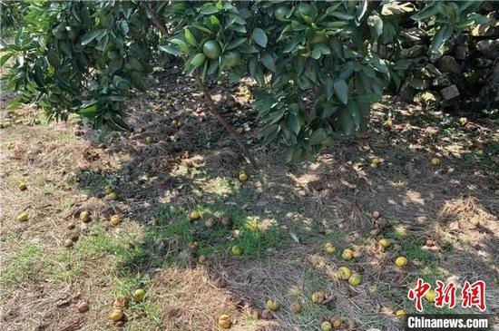 柑橘裂果掉落在地上 台州发布供图