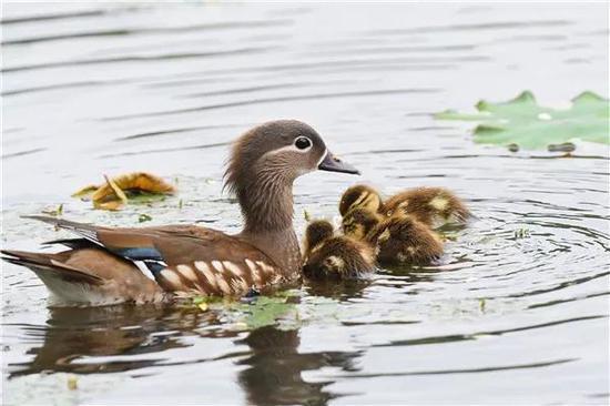 (三只鸳鸯宝宝跟着妈妈。程国龙 摄)
