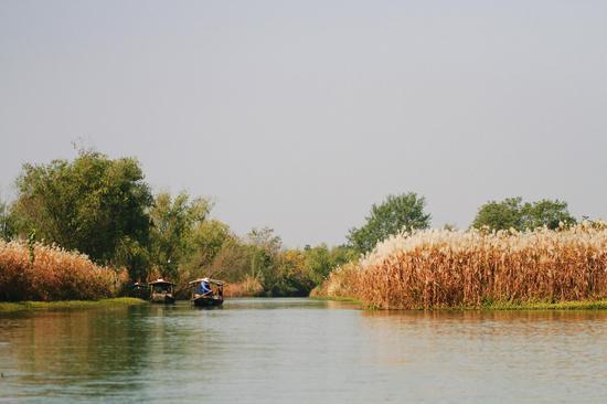 图为:大片的芦花在湿地中开放。杨作英 摄