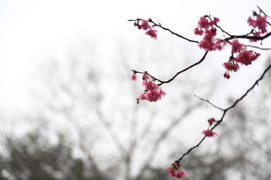 图为:初放的樱花。
