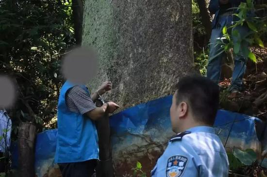 ▲嫌疑人指认被毁坏的楠木