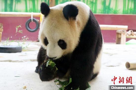 大熊猫吃粽子过端午。杭州野生动物世界供图