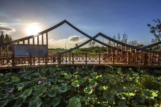 杭州余杭运河街道淤泥养肥千亩荷塘 节约费用2000万元