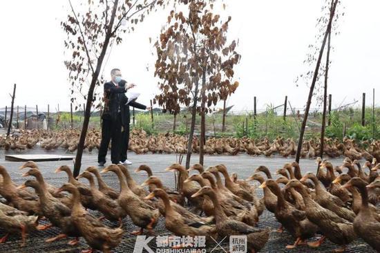 法官进棚数鸭子 乐清某鸭棚2000余只鸭子卖出7万余元