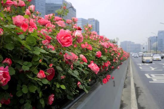 132万株高架月季即将完全绽放 杭城的空中花廊来了