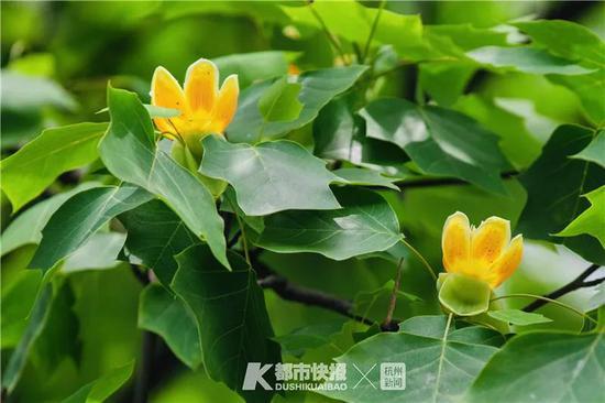 周末去户外走走 四月杭州清香季香樟最先香起来