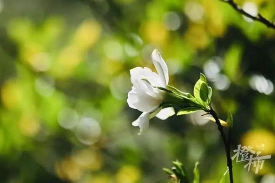 杭州万松书院栀子花王盛开 受降雨影响气温将回落
