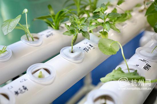 科考队员们在水培架上培育了不同种类的茎叶植物。