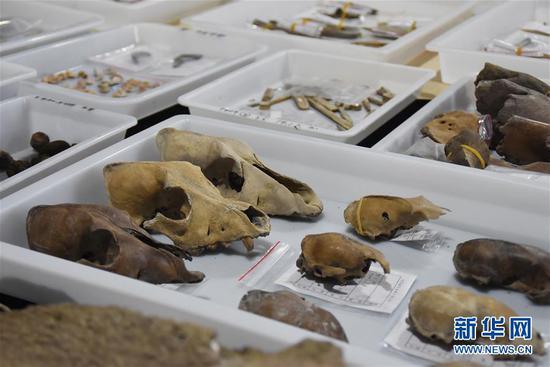 5月30日拍摄的井头山遗址发掘的距今8000年左右的狗头骨。 新华社记者 郑梦雨 摄