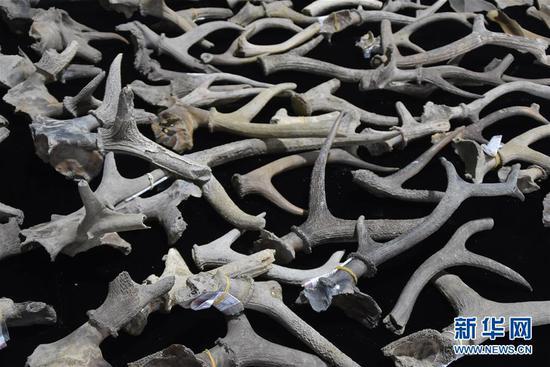 5月30日拍摄的井头山遗址发掘的距今8000年左右的梅花鹿角。 新华社记者 郑梦雨 摄