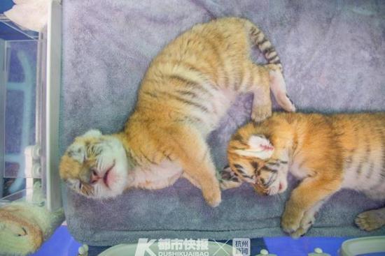 湖州1虎妈一口气生了4只可爱金虎 都是国际濒危物种