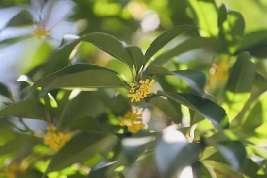 不少杭州人一直在问的桂花 开花的时间就快要到了