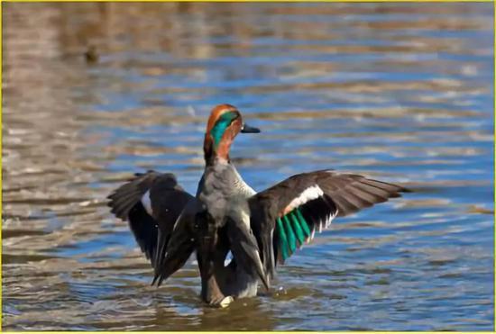 杭州西湖边第一只冬候鸟来了 接着还将惊喜不断