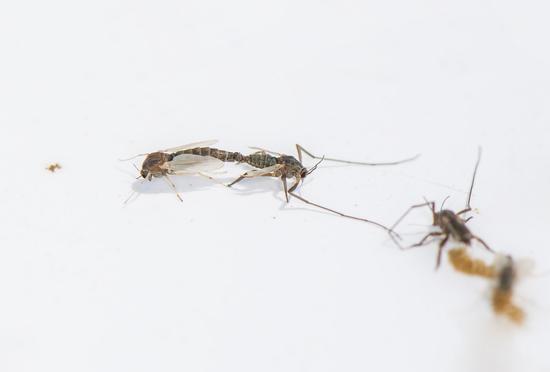 图为:在浙江沿海新发现的物种——中华二叉摇蚊。 陈春棠 摄