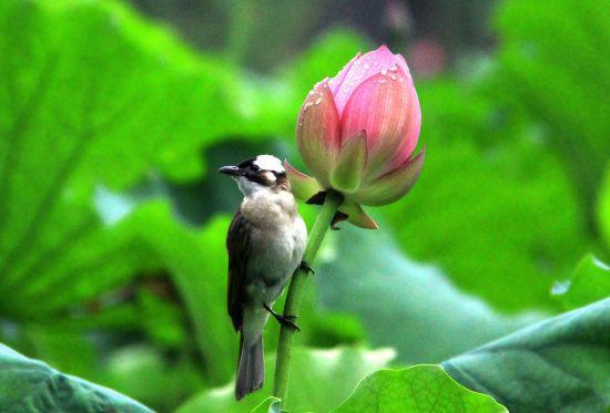 图为:鸟儿倚在荷花上。柱子(通讯员)供图