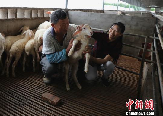 湖羊产业助农增收 许旭 摄