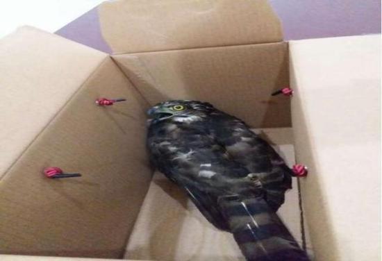 目前,猎鹰已经被工作人员安全带回了动物园进行保护。