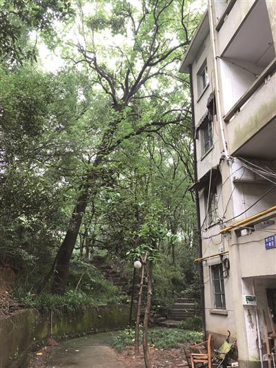 杭州连续阴雨天气 校园里大树被冲倒砸到居民楼(图)