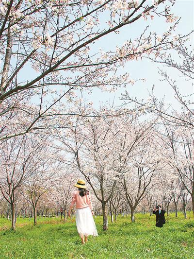 海宁盐官度假区百里钱塘樱花盛开,吸引游人前来观赏。