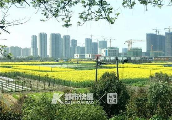 油菜花田和建设中的楼群